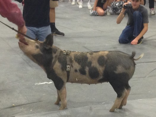 Students kept quiet to avoid stressing the pig further