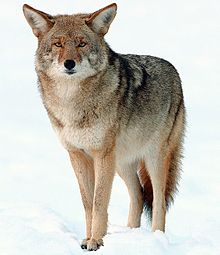Coyote pictured above. Photo courtesy of wikipedia.org