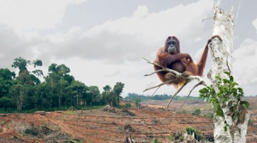 As a result of palm oil cultivation, many animals, such as orangutans, have lost their homes