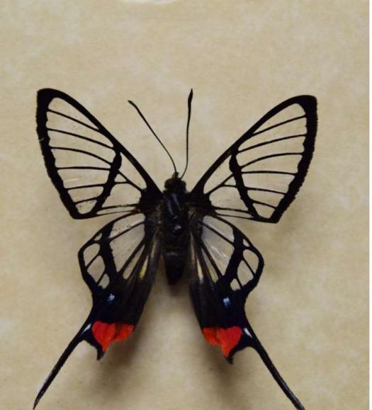 Long-Tail Glasswing Butterfly