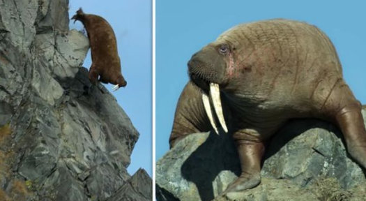 Walrus falls to death trying to get back to ocean