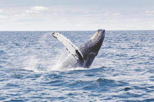 The whale frequently surfaces, much to students' delight.
