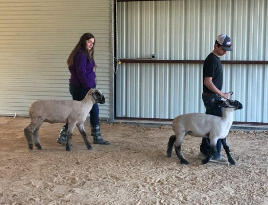 Students walk their animals in the new ag barn.